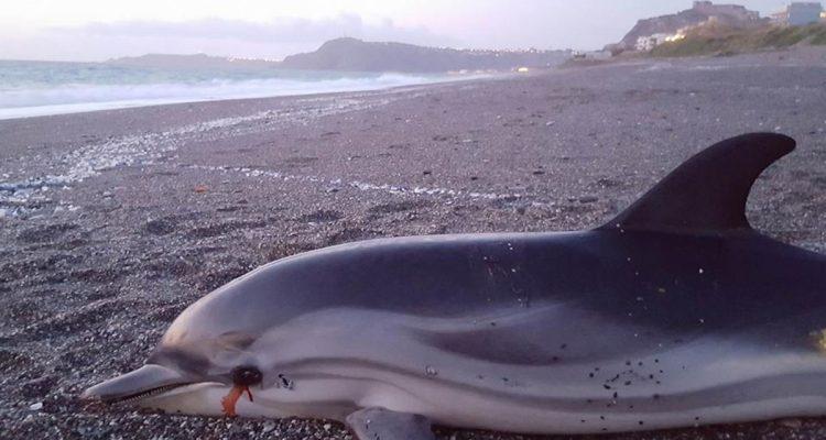 La stenella ritrovata spiaggiata a Milazzo a Ponente (foto Carmelo Isgrò)