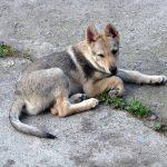 La lettera. Cane lupo abbandonato a Capo Milazzo in cerca di affetto